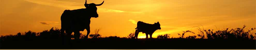 West Texas Cattle